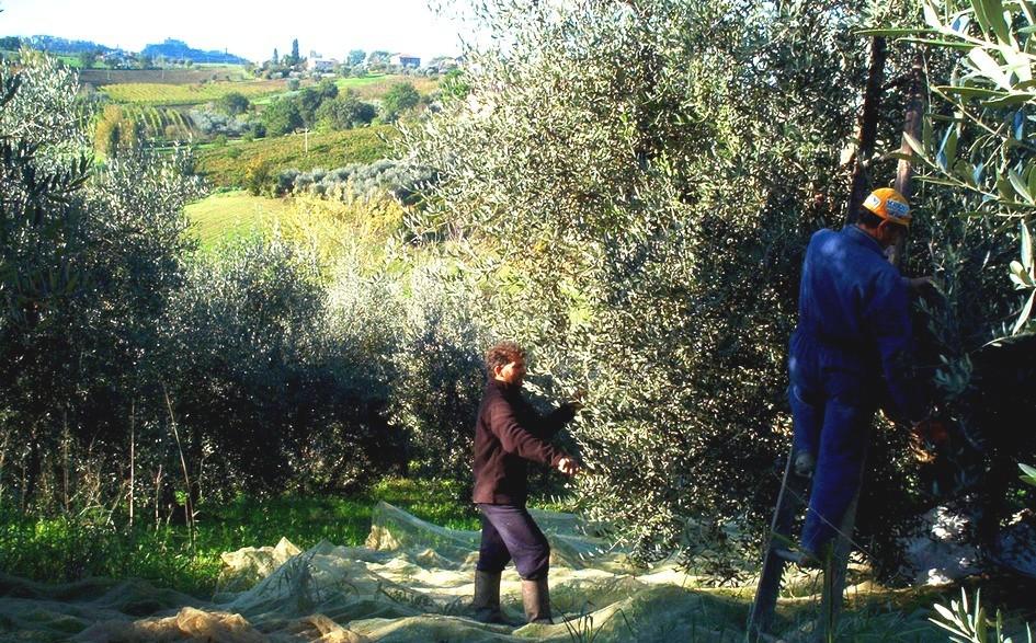 la nostra azienda agricola... la raccolta delle olive