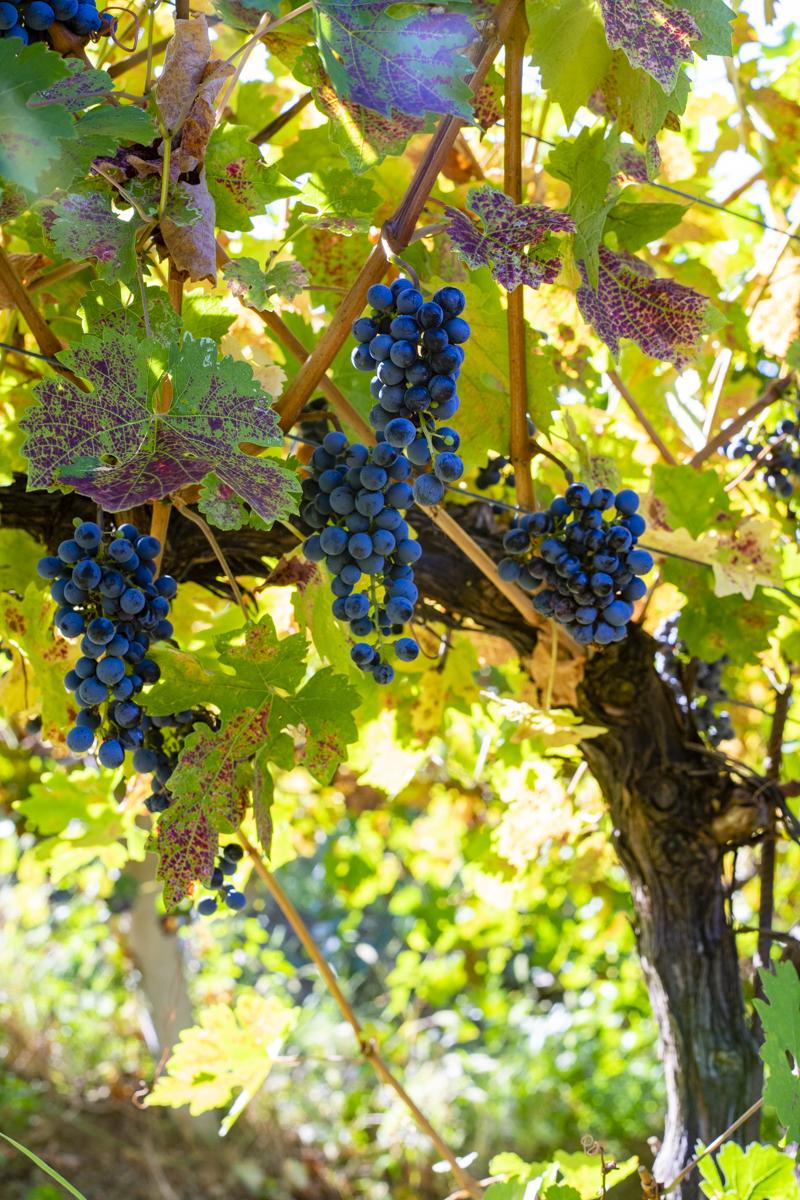 Azienda Agricola Agriturismo San Rocco vitigni